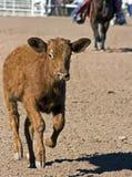 肉用牛召集 免版税库存照片