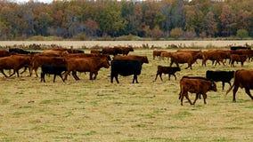 肉用牛大牧群吃草在牧场地的 母牛,公牛,一起小牛在小牧场 股票录像