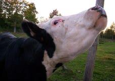 肉用牛母牛 免版税库存照片