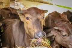 肉用牛种田 图库摄影