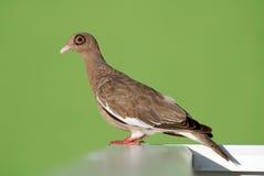 肉眼鸽子在库拉索岛的褐色鸟 库存照片