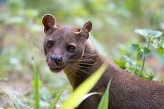 肉食哺乳动物的窝隐灵猫属ferox 免版税库存图片