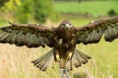 肉食在飞行中与两个翼传播 库存照片