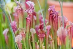 肉食植物叶子背景,瓶子草flava 免版税库存照片