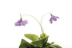 肉食植物, Buttewort (Pinguicula) 免版税库存图片