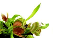 肉食植物 库存图片