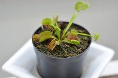 肉食植物Dionaea Muscipula 免版税库存照片