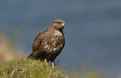 肉食站立在小山顶部的鵟鸟鵟鸟 库存图片