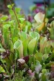 肉食droseaceae植物 图库摄影