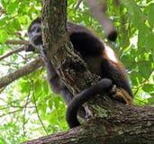 肋前缘吼猴rica 图库摄影