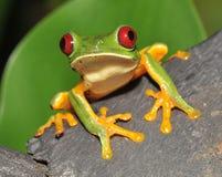 肋前缘好奇被注视的青蛙绿色红色rica&#3246 免版税库存照片