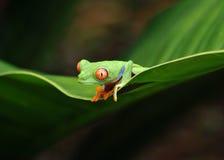肋前缘注视青蛙绿色红色rica结构树 免版税库存图片