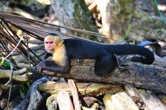 肋前缘猴子rica蜘蛛 免版税库存照片