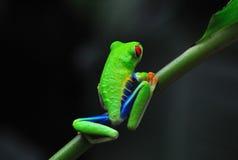 肋前缘眼睛青蛙红色rica结构树 库存照片