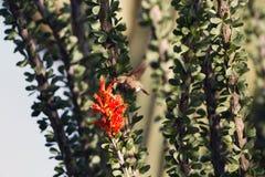 肋前缘` s蜂鸟在一个蜡烛木仙人掌的红色花哺养与一棵巨型柱仙人掌的在背景中 库存照片