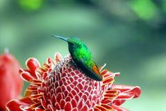 肋前缘Rica-绿色在红姜花的哼唱着鸟 免版税库存照片