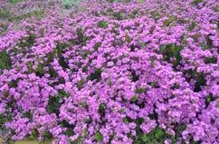肋前缘Vicentina自然公园,西南葡萄牙的植物和花 免版税图库摄影