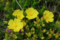 肋前缘Vicentina自然公园,西南葡萄牙的植物和花 库存图片