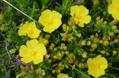 肋前缘Vicentina自然公园,西南葡萄牙的植物和花 免版税库存照片