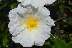 肋前缘Vicentina自然公园,西南葡萄牙的植物和花 免版税库存图片