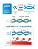 肌动蛋白传染媒介例证 与蛋白质结构的被标记的图 向量例证