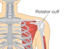 肌肉和腱在肩膀称肌腱套 图库摄影