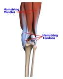 肌肉和腱在膝盖的后面 库存例证