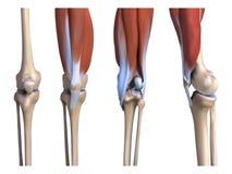 肌肉和骨头腿 向量例证
