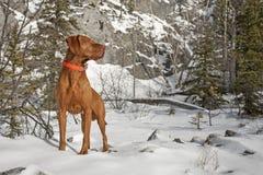 肌肉指向的狗户外 图库摄影