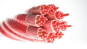肌肉类型:骨骼肌-横断面通过有可看见的肌纤维的一块肌肉- 3D翻译 库存例证