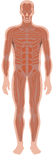 肌肉系统 皇族释放例证