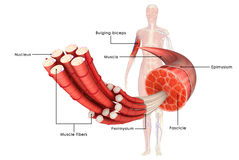 肌肉解剖学 库存例证