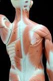 肌肉 免版税图库摄影