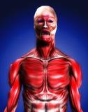 肌肉8 库存照片