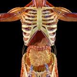 肚腑,消化系统,胃,食道,十二指肠,与瘦长的树荫的冒号 人的解剖学 库存例证