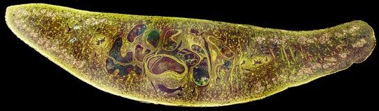 肝吸虫片吸虫属hepatica的轻的微写器 库存图片