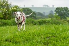 肝脏和白色达尔马提亚狗 库存照片