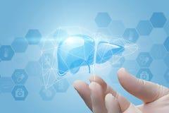 肝脏显示一只手 库存图片