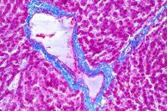 肝脏组织在教育的显微镜下 免版税库存图片
