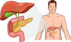肝脏解剖学 库存照片