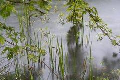 肢体池塘和叶子 免版税库存图片