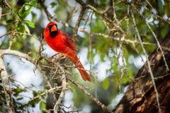 肢体的红色鸟主教 免版税库存照片