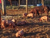 肥沃母猪 库存照片