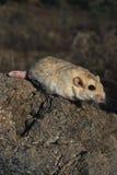 肥胖沙鼠盯梢了 免版税库存图片