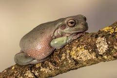 肥胖澳大利亚雨蛙, Litoria Caerulea,坐一个唯一分支 免版税库存照片