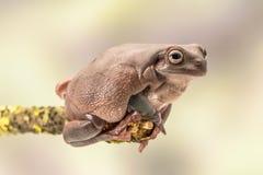 肥胖澳大利亚雨蛙, Litoria Caerulea,坐一个唯一分支 免版税库存图片