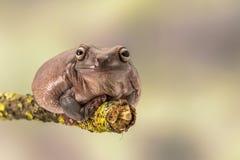 肥胖澳大利亚雨蛙, Litoria Caerulea,坐一个唯一分支 库存图片