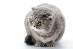 肥胖猫特写镜头 品种苏格兰人折叠 免版税库存照片