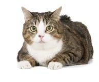 肥胖猫 免版税库存照片