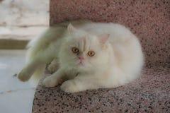 肥胖白色波斯猫 免版税库存照片
